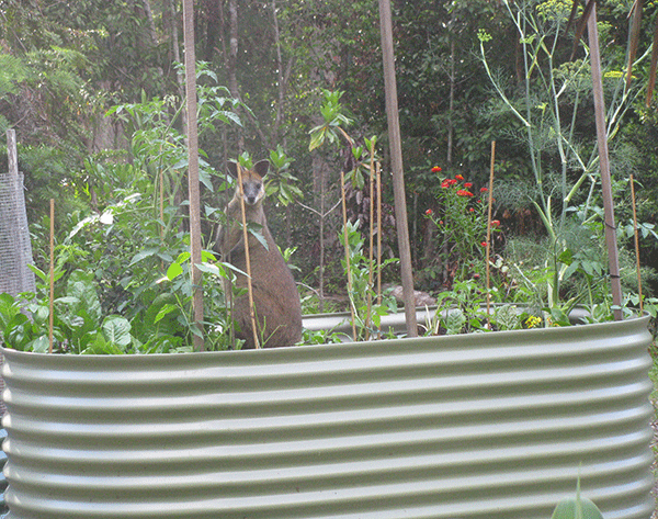 Wallaby In Raised Bed
