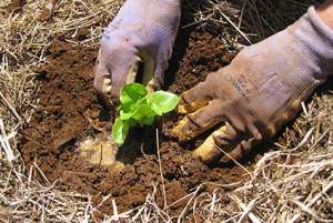 Firm soil gently around seedling