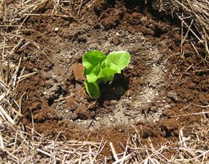 A light sprinkle of organic fertiliser