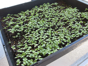 Thai Basil seedlings